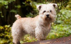 The Glen of Imaal Terrier dog is a loving dog developed to hunt fox and badgers. He originated in a valley of Ireland of the same name.