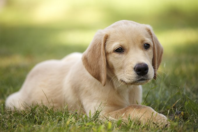 The Goldador dog is a mixed breed between a Labrador and a Golden Retriever. The idea was to obtain a working dog with a sweet personality.