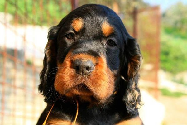 The Gordon Setter dog was originally bred to hunt quail and pheasant. These dogs excel in obedience and agility and are excellent companion dogs.