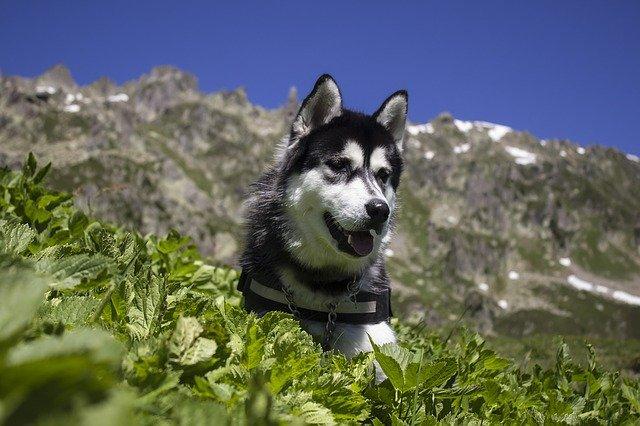 cane montagna
