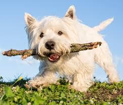 Razas de Perros: West Highland White Terrier o Perro Westy