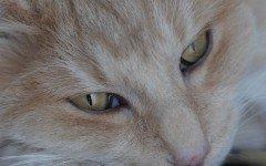 Gatto norvegese rosso, caratteristiche e aspetto
