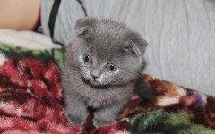 Gatto persiano grigio, tutte le caratteristiche