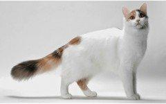 Razas Felinas: gato Van turco Características y Carácter