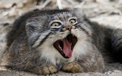 The Pallas cat is a cat that is difficult for him to be trained properly. An irresponsible home could turn him violent and frustrated.