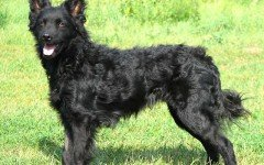 Razas de Perros: Pastor Croata características y Cuidados
