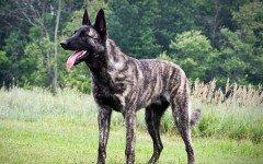 Razas de Perros: perro Pastor Holandes caracteristicas y cuidados