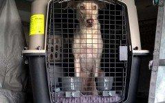 Intentan traficar droga utilizando un perro como mula perro para traficar