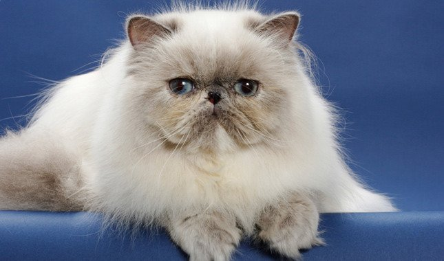 As the name suggests, Persian cat is original from Persia. The Persian Cat is a beautiful feline with a flat face and short snout, with a majestic fur.
