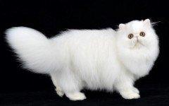 Razas de Gatos: Gato persa clasico características y carácter