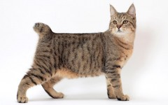 "The Pixie bob cat has the feral look of the wild bobtail and the loyal personality of the domestic cat. These cats are known as ""dogs in disguise""."