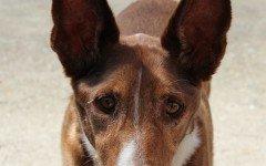 Razze Cani: Pharaon Edyptian Hound, carattere e prezzo