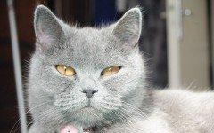 Alimentazione del gatto certosino: cibi ricchi di proteine e pochi grassi