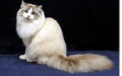 The Ragamuffin cat is a nice and docile cat, variant of the Ragdoll. Their most striking characteristic is probably their rabbit-like thick fur.