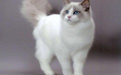 The Ragdoll cat is a beautiful cat with blue eyes and colorpoint coat. This dog-like cat can learn to fetch things and walk on a leash.
