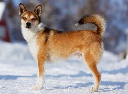 Razas de Perros: Lundehund caracteristicas y cuidados