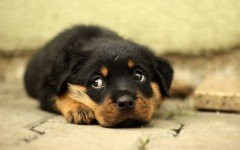 Malattie del cane Rottweiler: quali sono?