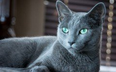 The Russian Blue Cat, also known as Archangel blue, is a natural breed. His coat gives him a unique blue-grayish coloration.
