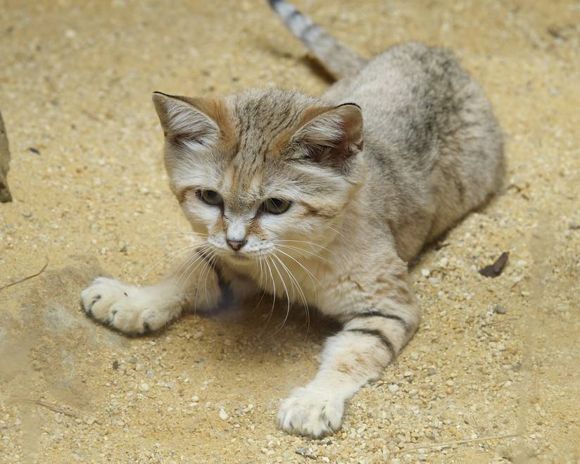 The Sand Cat is a strong cat original from the deserts of Africa and Asia. They are capable of living in the desert, without water for months.