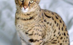 Cat breeds: the Savannah cat characteristics and behavior