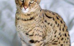 Cat breeds: the Savannah cat characteristics and behavior