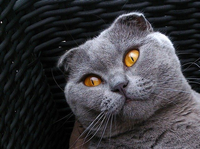 Cat breeds: the Scottish Fold cat characteristics and behavior