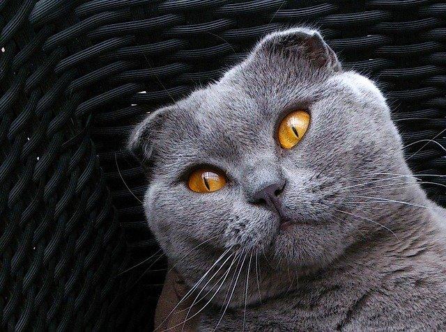 Cat breeds: the Scottish Fold cat characteristics and behavior