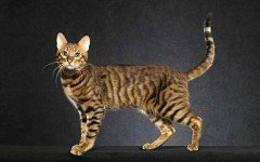 The Serengeti cat is a muscular cat with long legs; the longest of any other domesticated cat. He is a very tall cat that can jump up to a height of 7 ft.