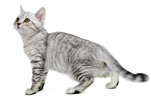 The Serrade Petit cat is a relatively newly discovered breed. They are original from France and standards have not being determined yet.