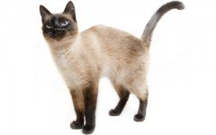 The Siamese cat is a beautiful and elegant cat native to Asia. Siamese cats are very affectionate with their family, bossy, and very intelligent.