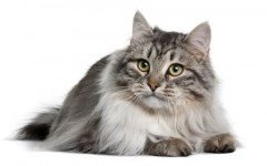 The Siberian cat is a domestic cat original from the icy taigas from Russia. His triple coat allows him to protect himself from the intense Siberian cold.