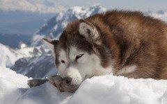 Malattie del cane Husky: quali sono e come prevenirle