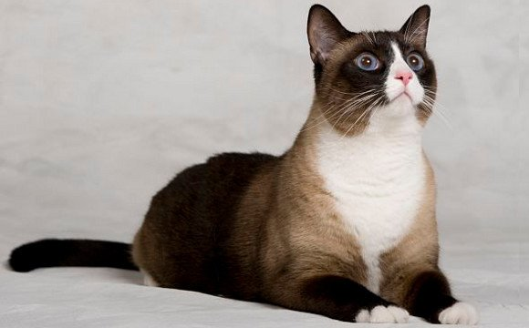 The Snowshoe cat is a rare breed resulting from the cross between the Siamese and the American Shorthair. He is affectionate and needy.