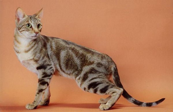 Also known as Sokoke Forest Cat, the Sokoke cat is a natural domestic cat developed in Kenya. This affectionate cat makes a great family companion.
