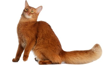 Highly intelligent and inquisitive, the Somali cat is a beautiful cat, sibling to the Abyssinian. He is very energetic and seems to never stop.