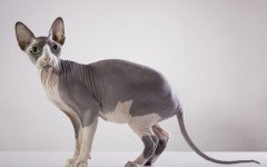 The Sphynx cat is the first breed of hairless cats to be registered. They are very friendly, affectionate, and require special care.