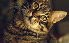 Gato atigrado: únicos e insuperables pelosos