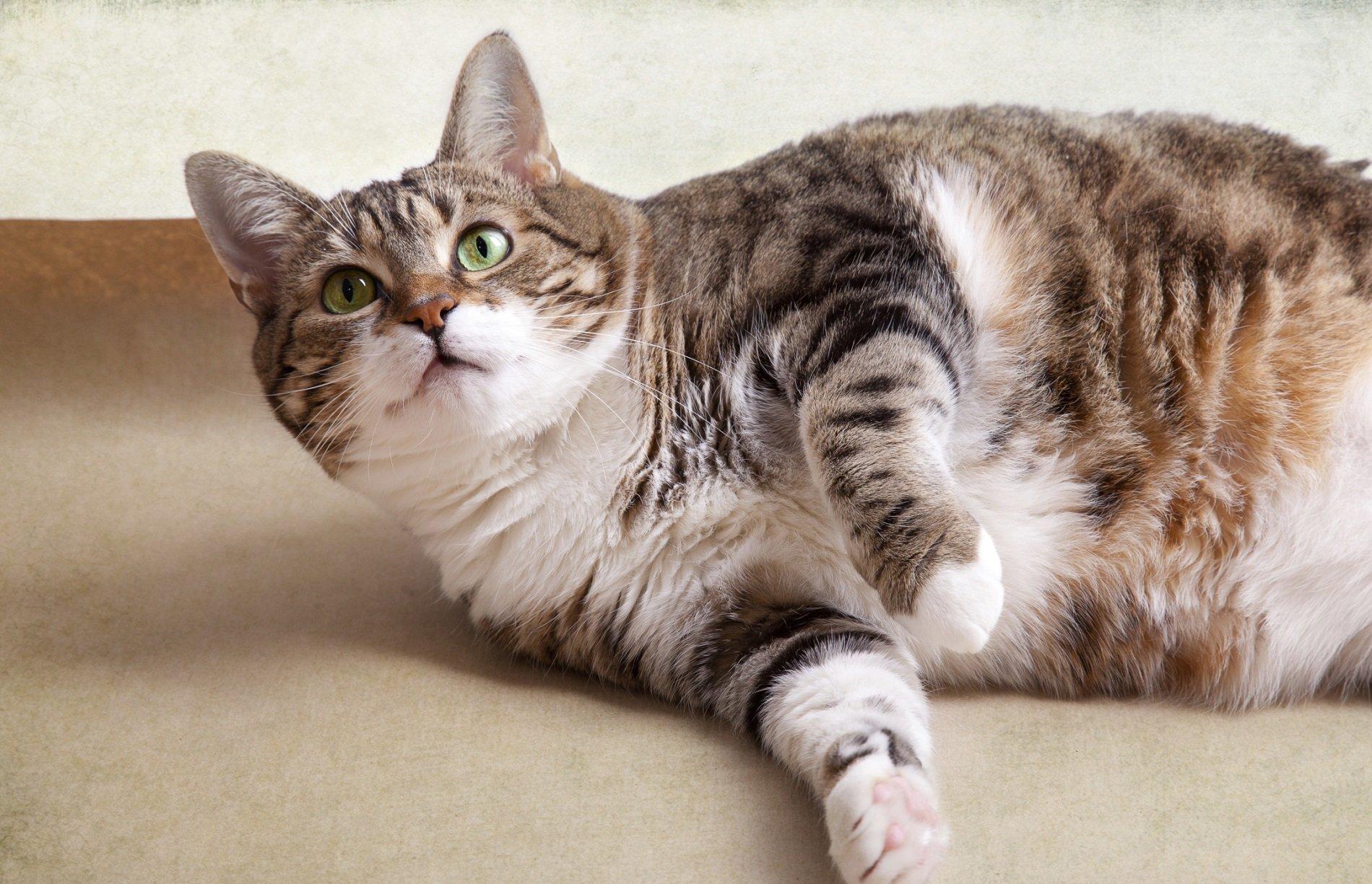 Gatos gordos: un problema a resolver gato gordo