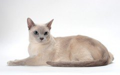 The Tonkinese cat is an elegant breed with a live and playful personality. They make great pets for a family looking for a cat to be playing with.
