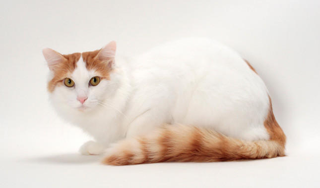 The Turkish Van cat is a white and fluffy one with colored tail and ears. He is a stable, sturdy, and affectionate cat that loves to swim in the water.
