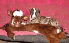 Conoce a Moonpie, la vaca miniatura que se siente perra