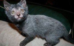 The Werewolf cat, also known as Lykoi, is the result of a natural mutation from domestic cats that makes them look like werewolves.