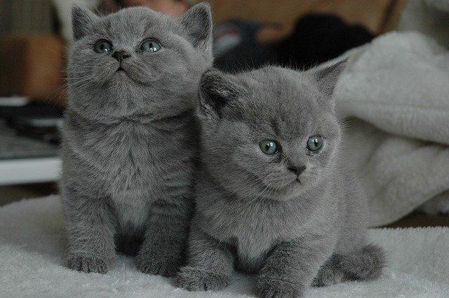 Gato gris: ¿de qué raza serán los gatos grises?