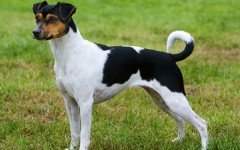 Razas de Perros: perro Terrier Brasileño caracteristicas