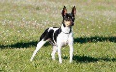 Razas de Perros: perro Ratonero Valenciano caracteristicas y cuidados