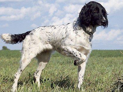 Razas de Perros: Munsterlander grande caracteristicas