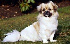 Razas de Perros: perro Spaniel tibetano caracteristica y cuidados