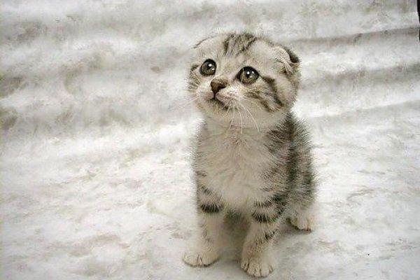 Enfermedades de los gatos: Periontitis infecciosa felina (FIP)
