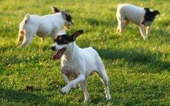 Razas de Perros: perro Terrier Chileno caracteristicas