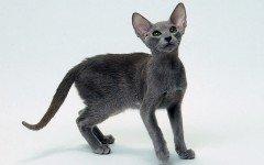 Razas Felinas: Gato oriental características y carácter